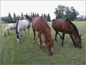 Ginger, Misty, Larry and Goldie hang out in the pasture at home in Minnesota. Photo courtesy of Annette Montplaisir